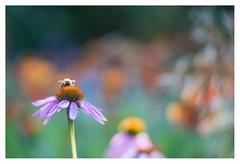 Resting bee (leo.roos) Tags: bee bij zonnehoed coneflower echinaceapurpurea pink roze angénieux100mm a7 pangénieuxparissthéandaxtype75f100105 projectorlens projectionlens july2018classicprimes week100 dyxum challenge darosa leoroos