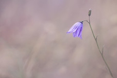 Harebell (Pog's pix) Tags: harebell pretty delicate flower bellflower campanularotundifolia wildflower wild nature outdoors outside natural purple campanulaceae stcyrus aberdeenshire scotland minimalist negativespace creative postprocessed macro sliderssunday