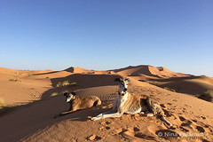 The Companions, Even in the Desert (nina.polareuth) Tags: sahara sanddune sanddunes merzouga maroc morocco farah leon galgo galgoespañol ergchebbi