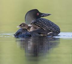 Peek-a-boo!  We are two! (sfdonald) Tags: bluesea colimbogrande commonloon gaviaimmer plongeonhuard quebec chick chickonback loon marsh
