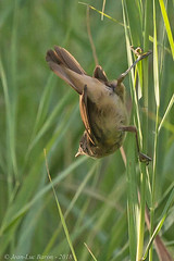 Eurasian Reed-Warbler (Acrocephalus scirpaceus) (Jeluba) Tags: 2018 acrocephalusscirpaceus canon eurasianreedwarbler rousserolleeffarvatte suisse switzerland teichrohrsänger aves bird birdwatching nature oiseau ornithology wildlife vertical jeluba jeanlucbaron