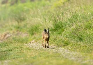 Wildlife around Magdalen June 2018 025 - Wet hare one foggy morning