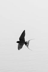 Barn swallow (mellting) Tags: eskilstuna nikond500 platser sigma1506005063sport vilsta bloggad flickr instagram matsellting mellting nikon sverige sweden barnswallow swallow ladusvala hirundorustica bird nature wildlife monochrome blackandwhite bnw