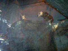 Bobcat (Lynx rufus) (Adventurer Dustin Holmes) Tags: indoor basspro wondersofwildlife museum springfieldmo springfield greenecounty missouri ozarks midwest exhibit interior inside zoo enclosure animal animalia chordata carnivore carnivora mammal mammalia feliformia felidae felinae lynx lynxrufus cleaning paw licking ledge rock