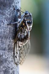 Cigale 2 (thierrybalint) Tags: bois insecte cigale arbre nikoniste nikon
