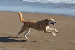 Diagnosis - Zoomies (Douglas Bawden Photography) Tags: douglasbawdenphotography canonprofessional ggnra rodeobeach marincounty pacificocean sausalito californiacoast myrescuedogissmarterthanyourhonorstudent fae canonlserieslens canoncamera rescuedog canine
