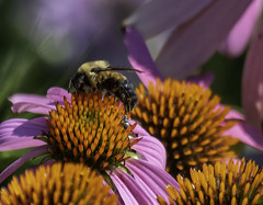 Bee_SAF2472 (sara97) Tags: copyright©2018saraannefinke missouri nature photobysaraannefinke saintlouis towergrovepark towergrovepark2018 coneflowers echinacea flowers bee insect endangered pollinator