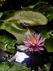 Water Lily (kura51) Tags: 2018 summer july gx8 hfs14140 yakushiikepark machida tokyo 夏 東京 町田 薬師池公園 睡蓮 waterlily町田市東京都日本