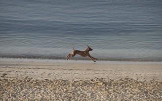 Dog running down Anquines Beach.