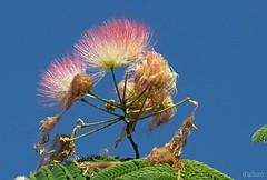 Acacia de Constantinopla (Franco D´Albao) Tags: canonpowershotg10 francodalbao dalbao flor flower acaciadeconstantinopla cielo sky árbol tree