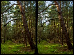 Heers forest 3-D / CrossEye / Stereoscopy / HDRaw (Stereotron) Tags: sachsenanhalt saxonyanhalt ostfalen harz mountains gebirge ostfalia hardt hart hercynia harzgau mystery woods forest wald outback backcountry wilderness krüppelkiefer europe germany deutschland crosseye crossview xview pair freeview sidebyside sbs kreuzblick 3d 3dphoto 3dstereo 3rddimension spatial stereo stereo3d stereophoto stereophotography stereoscopic stereoscopy stereotron threedimensional stereoview stereophotomaker stereophotograph 3dpicture 3dimage canon eos 550d chacha singlelens kitlens 1855mm tonemapping hdr hdri raw