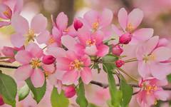 Crab Apple Blossoms (GeoKs) Tags: calgary crabapple nearbynature spring