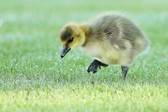 060 (5) Dew Baby (srypstra) Tags: tsehumharbour canadagoose gosling dew grass resthavenisland