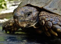 Germany,  my old turtle  Penno  ( 50 Years old ) 76296/10242 (roba66) Tags: deutschland badwürttemberg zoolgarten roba66 tier tiere animal animals creature fauna turtle schildkröte penno penelope