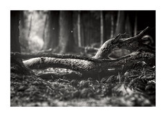 Bokeh of Silence (memories-in-motion) Tags: bokeh silence mood forest ground branch black white blackandwhite haiku wood tree light shadow canon nature 5dmarkiv smcpentax6755mm
