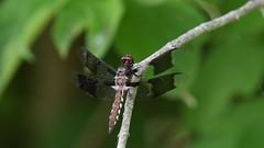 Brief video dragonfly. (Mel Diotte) Tags: brief video dragonfly mel diotte explore nikon