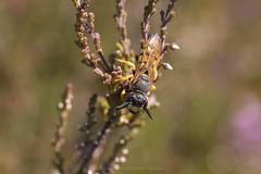 Bee wolf (Daniel James Greenwood) Tags: nikond750 thursleycommon danielgreenwood danielgreenwoodphotography macro insects insectmacro sigma105mmf28exdgmacroos
