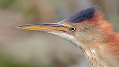 Petit blongios, Portrait (boisvertvert1) Tags: petitblongios leastbittern michelboisvert 2018 canada québec oiseaux oiseauxduquébec birds canon70d canon canoneos70d ef300mmf4lisusm