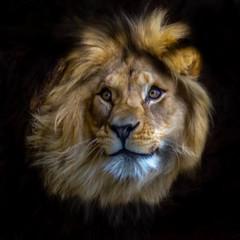 Lion King (trombone65 (PhotoArt Laatzen)) Tags: erlebniszoohannover erlebniszoo zoo lionking lion löwe hannover lions portrait kopf adobe lightroom lightroommobile bearbeitung