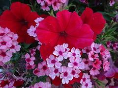 Happy 151st Birthday, Canada! (peggyhr) Tags: peggyhr canadaday red white dsc05189a bluebirdestates alberta canada