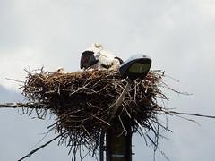 Nesting Storks France (Nick.Bayes) Tags: storks nesting france