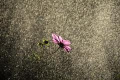 summer in my garden (JoannaRB2009) Tags: garden summer flower cosmos pink water shower rain waterdrops nature