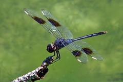 Male Four-spotted Pennant (Brachymesia gravida) (Jim Atkins Sr) Tags: dragonfly fourspottedpennant brachymesiagravida closeup insect lake finepix hs30exr fairfieldharbour northcarolina macro