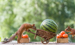 red squirrel with an wheelbarrow with watermelon (Geert Weggen) Tags: agriculture animal backgrounds closeup colorimage crop cultivated cute dirt environment environmentalconservation environmentaldamage environmentalissues food freshness gardening global greenhouse growth harvesting healthyeating horizontal humor lifestyles mammal nature newlife nopeople organic outdoors photography planetspace planetearth plant pollution red rodent seed socialissues springtime squirrel summer tomato vegetable garden wheelbarrow pumpkin watermelon bispgården jämtland sweden geert weggen ragunda hardeko