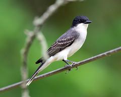 DSC_7354=6218Kingbird-Explore 07-07-2018 (laurie.mccarty) Tags: kingbird bird bokeh animal outdoor wildlife nature nikon