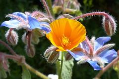Sommerblüten-summer blossoms (Anke knipst) Tags: kalifornischermohn borretsch borage blume flower orange blau blue geburtstag birthday poppy californiapoppy eschscholziacalifornica schlafmützchen