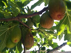 Eden. (lobotomyzed) Tags: figs bio agriculturebiologique organic fruit