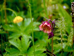 Benoîte des ruisseaux (jpdu12) Tags: geumrivale jeanpierrebérubé jpdu12 nikon d5300 flowers flore islande iceland plante