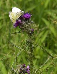Auf einer Feuchtwiese im Baccumer Wald, Rapsweißlings-Paarung (Pieris napi) auf einer Acker-Kratzdistel (Cirsium arvense); Lingen (9) (Chironius) Tags: lingen baccumerwald baccumerforst wald emsland germany deutschland niedersachsen allemagne alemania germania германия tier schmetterling butterfly papillon kupukupu farfalla vlinder motyl бабочка mariposa asterids campanuliids asternartige asterales korbblütler asteraceae carduoideae cynareae blüte blossom flower fleur flor fiore blüten цветок цветение forest forêt лес bosque skov las lingenerhöhe