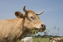 Un goût de campagne (Titole) Tags: cow farmanimal eating titole nicolefaton horn ear contreplongée