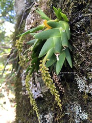 Mount Lico JB - Orchid in flower (May 18)