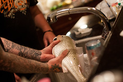 Catch of the Day (Jeremy Caney) Tags: babies bluefish detail dinner family fish fishing florida food katiesfamily kitchen luckybrand pomatomussaltatrix preparation scales silver sink sleeves tshirt tattoos toughtobeat trips vacation