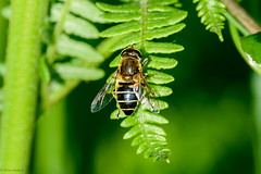 Stripe-faced Dronefly (Eristalis nemorum), female (Hoppy1951) Tags: swansea wales uk gbr bishopswoodlnr caswell allanhopkins hoppy1951 stripefaceddronefly eristalisnemorum female hoverfly syrphidae