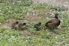 Follow the leader (ocelotcreative) Tags: tuftedduck family ducks ducklings wildlife ukwildlife londonwildlife londonwetlandcentre