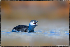 Red throated loon (RKop) Tags: raphaelkopanphotography newjersey d500 14xtciii nikkor600f4evr belmar wildlife