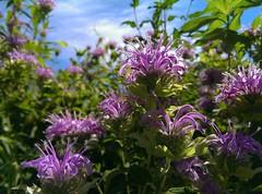 walking among the bee balm (christiaan_25) Tags: beebalm monardafistulosa flower flowers wildflowers lowangle purple green petals leaves stems pov pointofview sky prairie field meadow nature