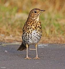 Song Thrush (Gary Chalker, Thanks for over 3,000,000. views) Tags: thrush songthrush bird pentax pentaxk3ii k3ii pentaxfa600mmf4edif fa600mmf4edif fa600mm 600mm