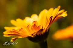 Gelbe Blüte (Mikvede) Tags: sommer blumen blüten blooms macro makro blossoms garden garten gelb