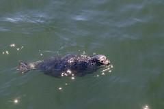 Ambleside seal ([Rossco]:[www.rgstrachan.com]) Tags: ambleside britishcolumbia canada westvancouver park pier sea seal wildlife ca