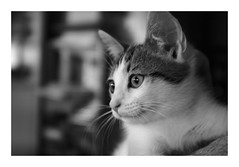 Joyeux chat'nniversaire, Max ! Happy Caturday !!! (DavidB1977) Tags: fujifilm x100f chat cat kitten kitty chaton monochrome bw nb
