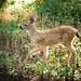 fawn (sebboh) Tags: sonya7kolariut zeissleicafrankenlens carlzeisscontaxg90mmf28sonnar deer fawn baby nature wildlife portland oregon pdx forest