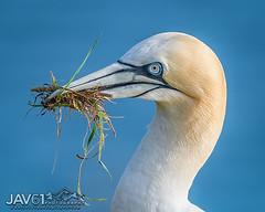 Nesting Gannet_9380 (George Vittman) Tags: bird nest chick grass bempton nikonpassion wildlifephotography jav61photography jav61 fantasticnature