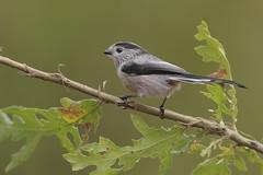 Codibugnolo (mauro.santucci) Tags: codibugnolo aegithaloscaudatus passeriforme uccelli uccello bird avifauna natura birdwatching wildlife wild ngc