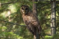 California spotted owl (Team Kweeper) Tags: bird owl raptor birdofprey perch perching forest california sierranevada mountains rare animal