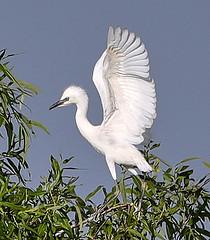 07-20-18-0028066 (Lake Worth) Tags: animal animals bird birds birdwatcher everglades southflorida feathers florida nature outdoor outdoors waterbirds wetlands wildlife wings
