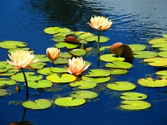 Peach Waterlilies (Stanley Zimny (Thank You for 31 Million views)) Tags: flower botanical garden lily waterlily peach beauty